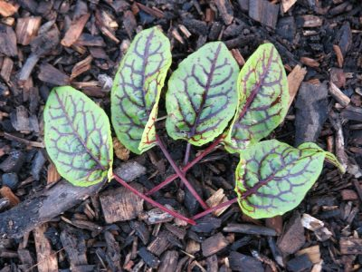 Red Sorrel Panda