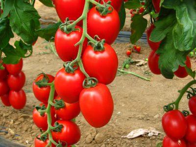 Rossano F.1 Pomodoro
