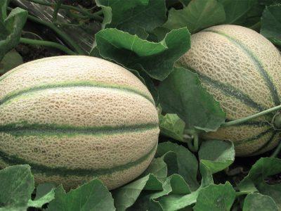 Esasem Semi Per Orto Melone Jannet F.1 087