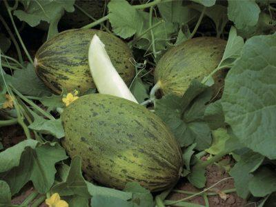 Esasem Semi Per Orto Melone Piel De Sapo 084