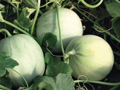 Esasem Semi Per Orto Meloni Iago F.1 085