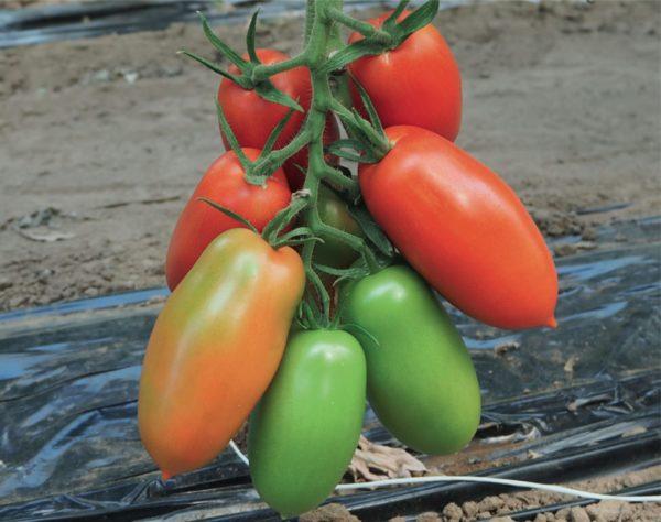 Esasem Seeds For Vegetable Garden Tomato Corinzio (tol 1914) F.1 * 142