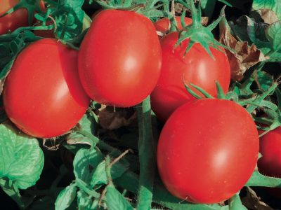 Esasem Semi Per Orto Pomodoro Increase F.1 112