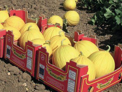 Esasem Semi Per Orto Melone Eliodoro (mly 12101) F.1* 091