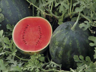 Sale Watermelon Seeds Online Ketty F.1 2