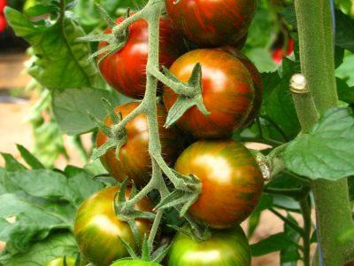 Crispino F.1 Pomodoro