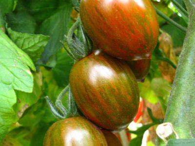 Crispino Plum F.1 Pomodoro