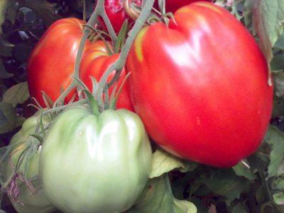 Cuor Di Bue Sel. Calabrese Pomodoro