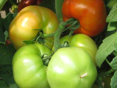 Jalari F.1 Pomodoro