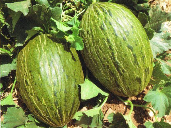 Melone Gran Riado F.1 1