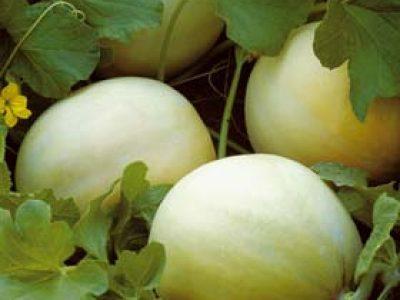 Melone Jolly F.1