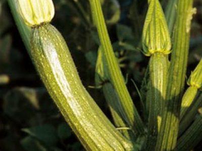 Mosar F.1 Zucchino