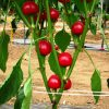 Red Cherry Small Peperone