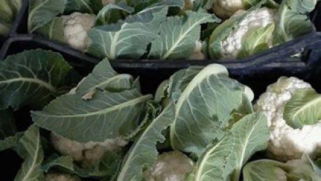 In raccolta il nostro #Cavolfiore #AMANDINE F1 in coltivazione #biologica in #Sa...
