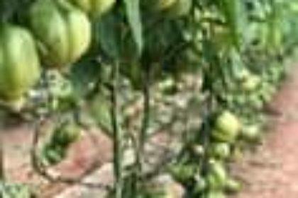 Il nostro #GANDALF F.1, #pomodoro cuor di bue molto produttivo anche nei palchi ...