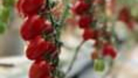 Questo il link alle nostri #pomodori già commerciali: #ESASEM #Sementi di #Qua...