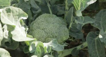 Gran jornada de grabación  de #Thassos en Navarra, nuestra variedad de brócol...