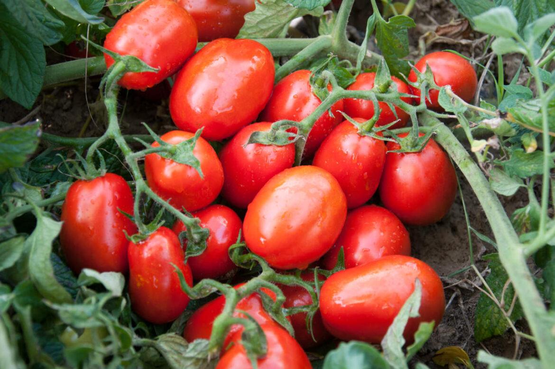Quando il pomodoro da industria incontra l'innovazione genetica