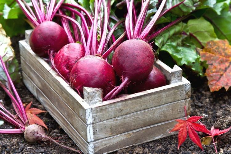 Barbabietola rossa, un superfood dalla lunga tradizione